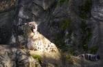 Snowleopard.jpg